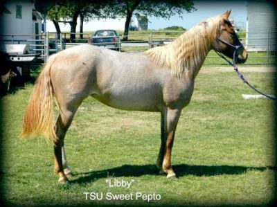 TSU Performance Horse Sale